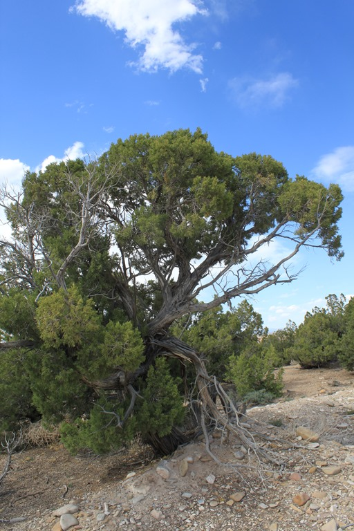 windblown tree.jpg