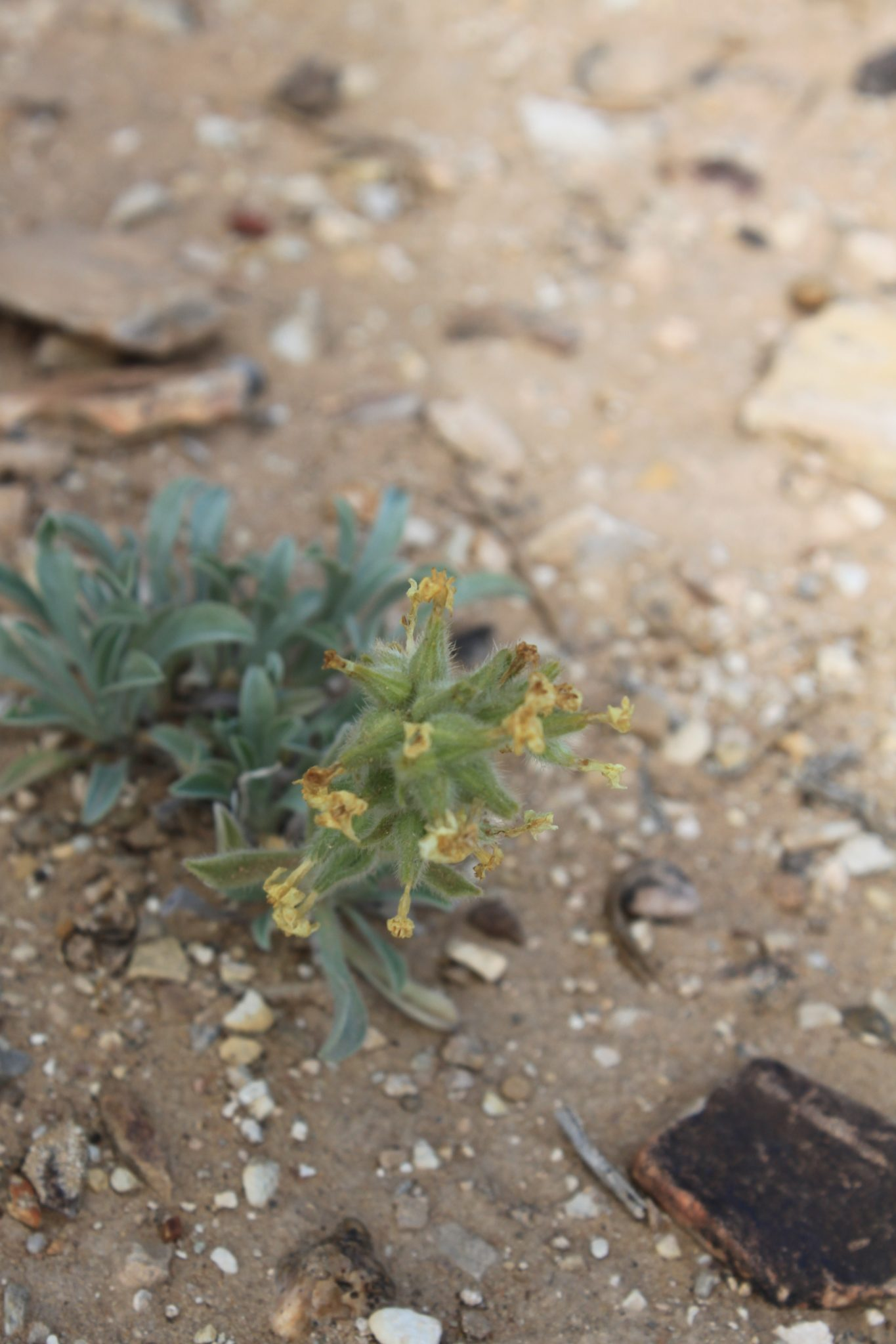 yellow desert flower.jpg