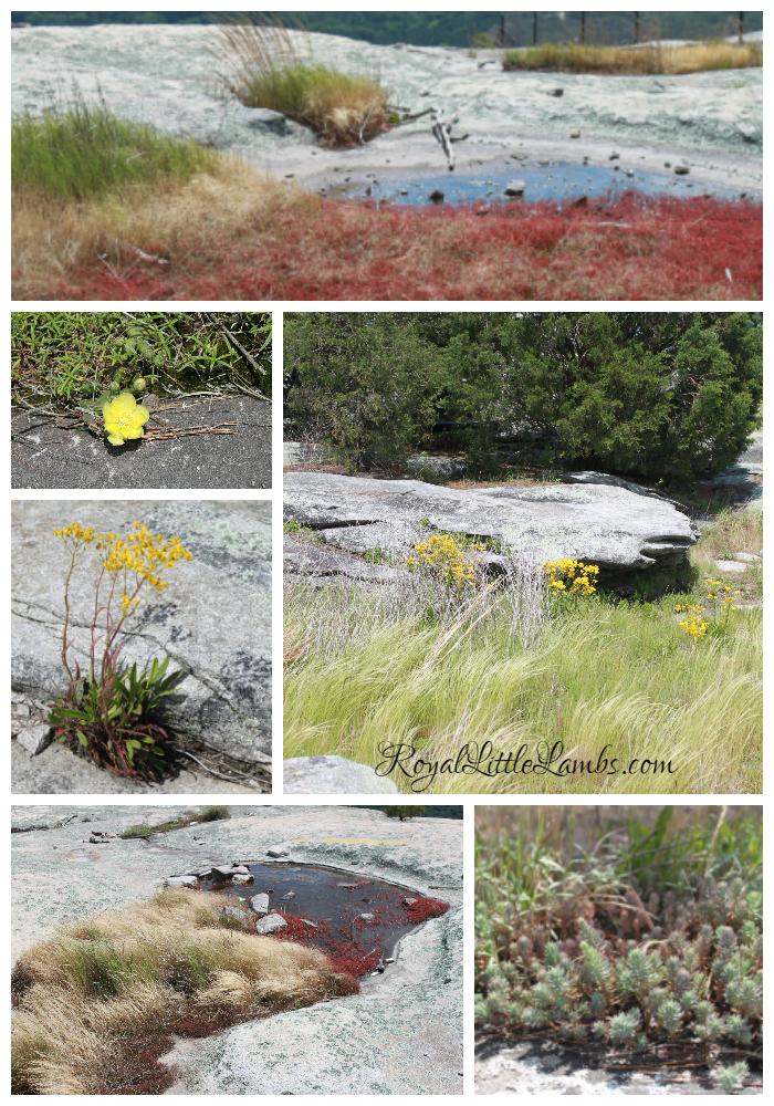 Stone Mountain Plants