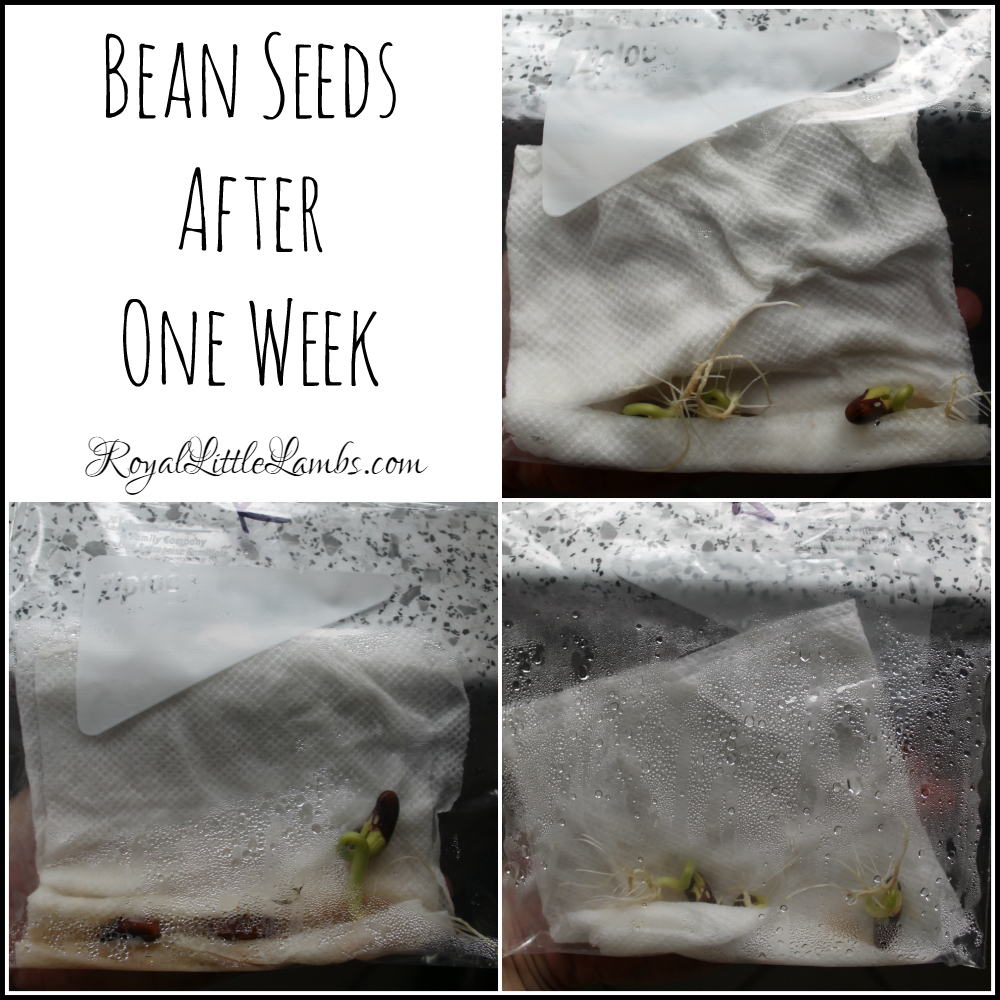 Bean Seeds After One Week