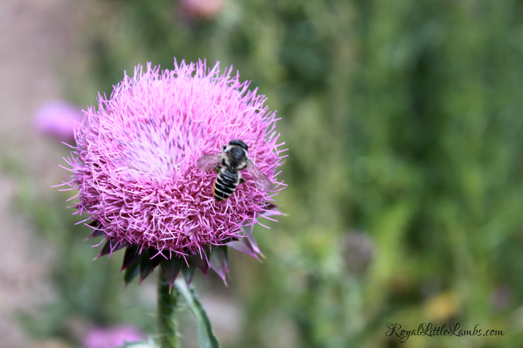 Another Bee on a Thistle