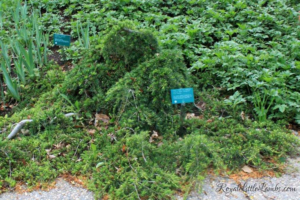 Dwarf Cedar of Lebanon