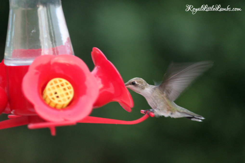 Hummingbird Drinking at Feeder