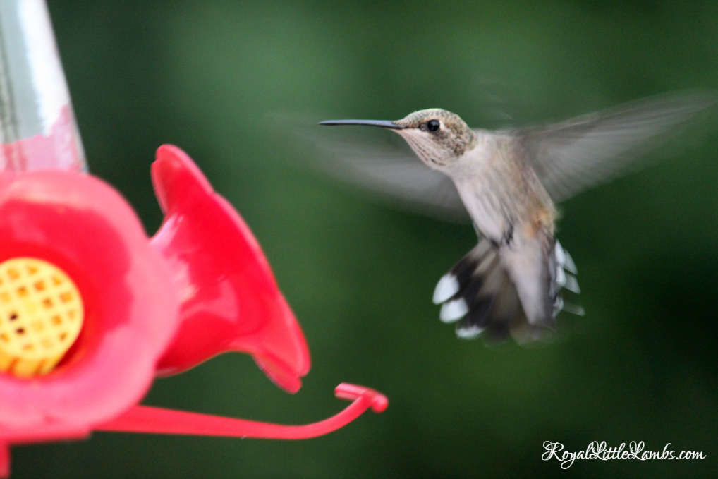 Hummingbird Flying to Feeder