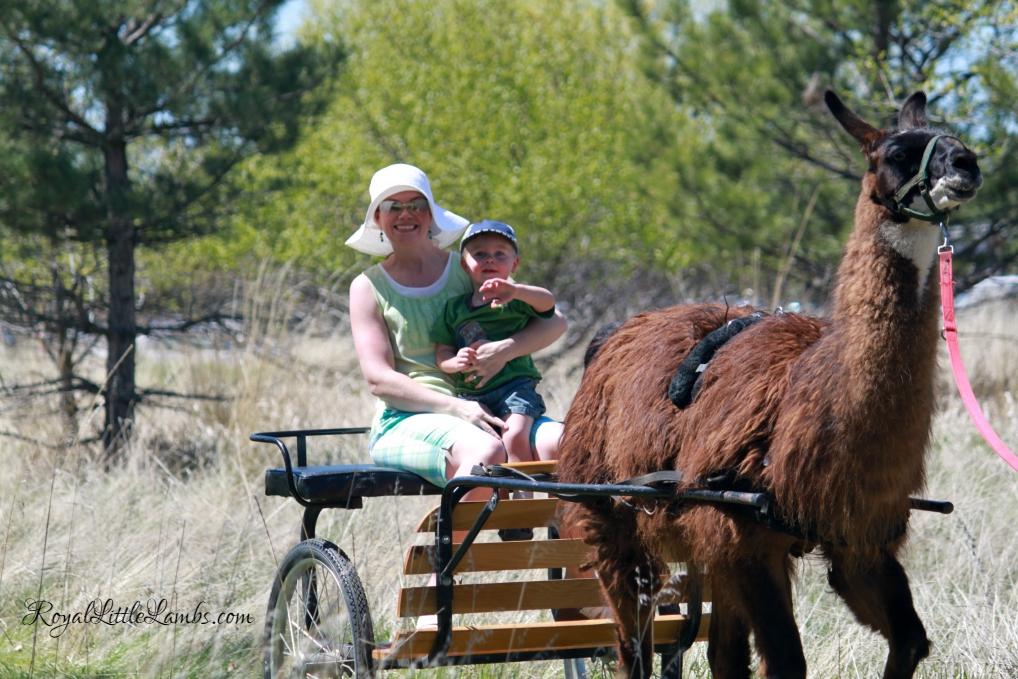 Llama Cart Riding