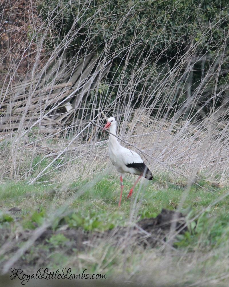Stork Building a Nest